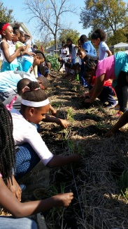 Students from Washington University planted beets...and elementary students from Lucas Crossing harvested them!