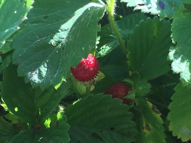 mockberry