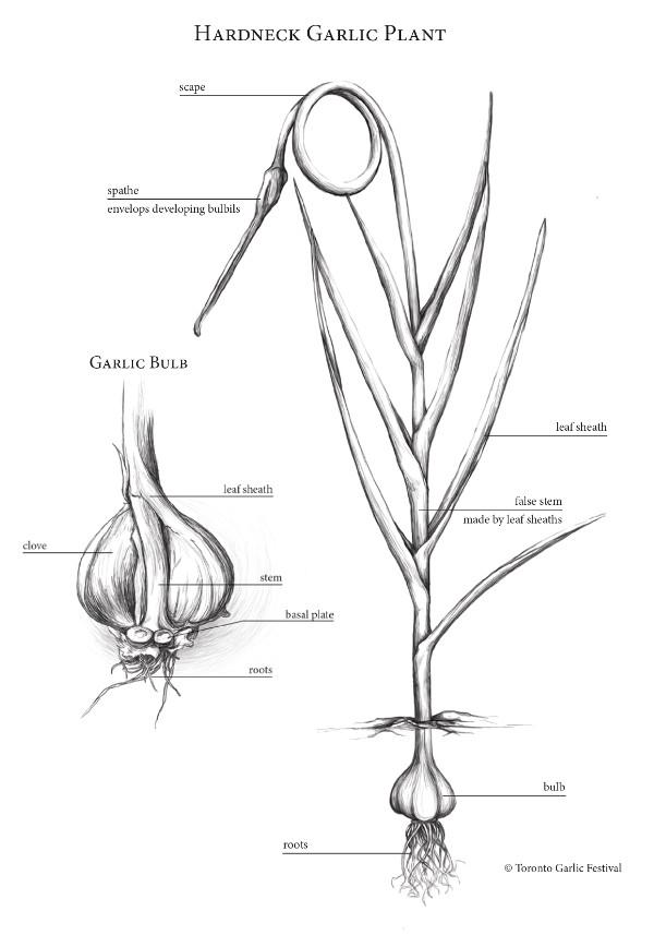 garlic illustration 2
